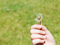 Girl blows a dandelion parachutes Stock Image