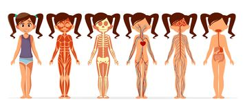 Girl body anatomy vector cartoon illustration of female muscular, skeletal, circulatory or nervous and digestive system stock illustration