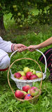 Girl  and boy holding fresh harvested apples in a basket Stock Images
