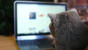 Girl and British cat gray with a laptop. Purchase online products for animals