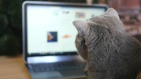 Girl and British cat gray with a laptop. Purchase online products for animals. Feeding for animals online stock video