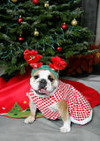 Girl Bulldog in Holiday Antlers Stock Photos