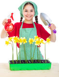 Girl care daffodils on the desk Royalty Free Stock Photo