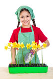Girl care daffodils on the table Royalty Free Stock Image