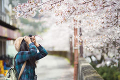 A girl and Cherry Blossom Royalty Free Stock Image