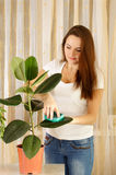 Girl cleaning ficus Royalty Free Stock Image