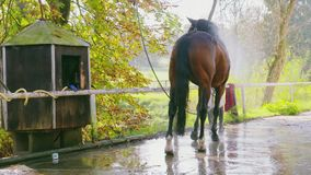 Girl Cleaning Horse stock video footage