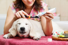 Girl cleaning teeth of her dog at home Stock Photos
