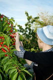 Girl Collects A Sweet Cherry Stock Image