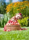 Girl collects the apples scattered on a grass in a basket Stock Photography