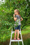 Girl collects cherry in a cherry garden. Girl try  cherries, standing on the stairs in a cherry garden Royalty Free Stock Photography