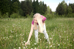 Girl collects in the field dandelions afternoon Stock Photos