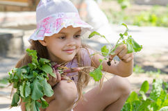 Girl collects radishes from the garden Royalty Free Stock Photo