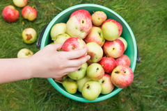 Girl collects ripe apples in bucket in orchard Royalty Free Stock Photo