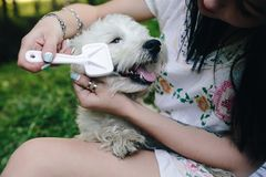 Girl combing her small dog Stock Image