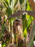 Girl in Corn Maze Royalty Free Stock Image