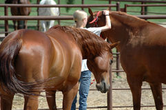 Girl in Corral. Blonde girl in horse corral putting halter on her horse Stock Photo