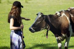 Young woman stroking a cow. Girl and the cow in a field. Shepherd and cow. Farmer Shepherd with Grazing Cows, Cowherd woman with Cattle. Contact royalty free stock photography