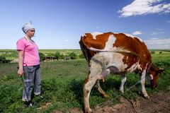 Girl and the cow in a field. Shepherd and cow. Farmer Shepherd with Grazing Cows, Cowherd woman with Cattle. Contact stock photography