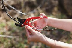 The girl cuts off the branches of the apple red secateurs in the garden stock photos