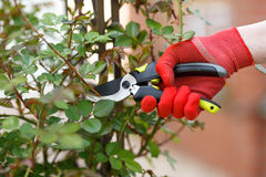 Girl cuts or trims the bush with secateur in the garden. Stock Photography