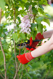 Girl cuts or trims the bush with secateur in the garden. Royalty Free Stock Photo