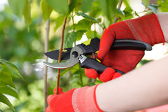 Girl cuts or trims the bush with secateur in the garden. Stock Photos