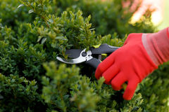 Girl cuts or trims the bush with secateur in the garden. Royalty Free Stock Image