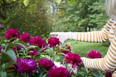 A girl cutting flowers in the backyard. royalty free stock image