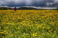 Girl in Dandelion field. Girl in a meadow with blooming Dandelions Royalty Free Stock Photos