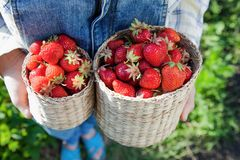 Girl in denim clothes with strawberry baskets in a sunny summer. Garden Royalty Free Stock Image