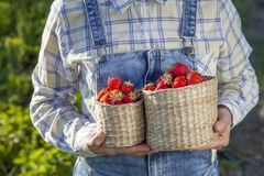 Girl in denim clothes with strawberry baskets in a sunny summer garden stock photo