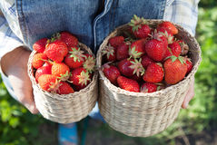 Girl in denim clothes with strawberry baskets in a sunny summer Royalty Free Stock Photography