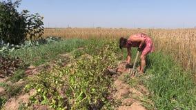 Girl dig potato harvest near barley field agriculture work. Villager girl dig potato harvest near barley field on countryside. Seasonal agriculture work. Medium stock video footage