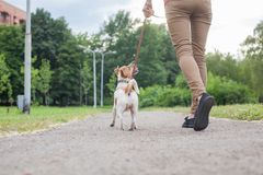 A girl with a dog on a leash of the Jack Jack Russell Terrier walks along the alley. In the park royalty free stock images