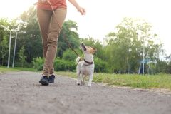 A girl with a dog on a leash of the Jack Jack Russell Terrier walks along the alley. In the park stock images