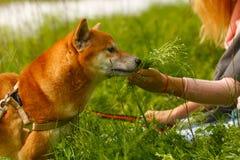 Girl and dog Shiba Inu. Royalty Free Stock Photography