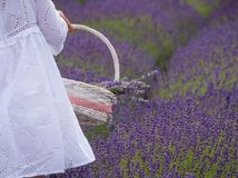 A girl dressed in white gathers a basket of lavender flowers from a field royalty free stock photography