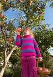 Girl eat ripe apples Stock Images