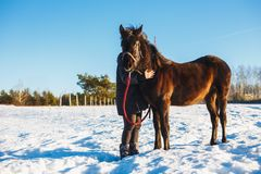 Girl embraces arab black horse. Winter snowy field on a sunny day stock images