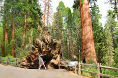 Girl exploring huge sequoia tree in the forest. Girl on hiking trip exploring sequoia trees. Smiling child having fun on vacation. Fallen Monarch sequoia tree royalty free stock photo