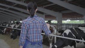Young girl farmer making a tour of the barn with cows on the farm. Girl farmer making a tour of the barn with healthy cows on the farm stock video footage