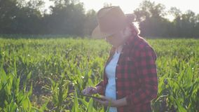 Girl farmer with a tablet to monitor the harvest, a corn field at sunset. Girl farmer with a tablet monitors the crop, corn field at sunset, slow motion video stock footage