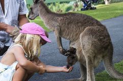 Girl feeding a baby kangaroo. Little girl feeding a baby kangaroo in a park stock images