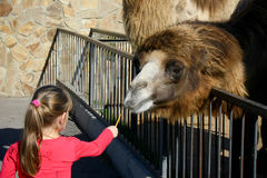 Girl feeding a camel Royalty Free Stock Photo