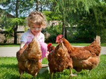 Girl feeding chickens. Little Girl feeding brown chickens Royalty Free Stock Photos