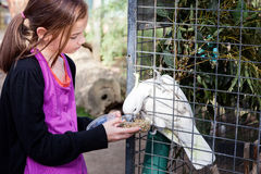 Girl feeding cockatoo. A young girl feeding a cockatoo seeds royalty free stock photography