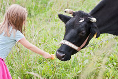 Girl feeding cow royalty free stock images