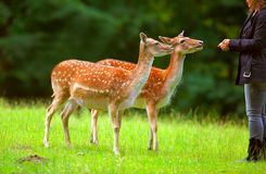 Girl feeding deer  Royalty Free Stock Image