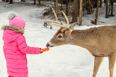 Girl feeding deer in the Omega Park of Quebec. Girl feeding deer in the Safari Park Omega (near Montebello,Quebec,Canada Royalty Free Stock Photo